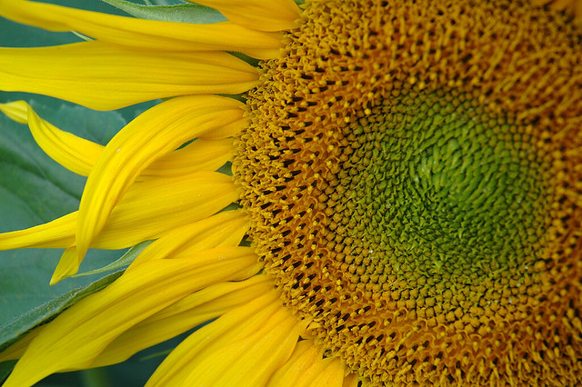 Sunflower (closely)