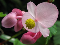 Hardy begonia / 秋海棠(しゅうかいどう) / 瓔珞草(ようらくそう)