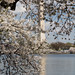 Washington Monument behind Blossoms