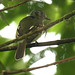 Slaty-capped Flycatcher