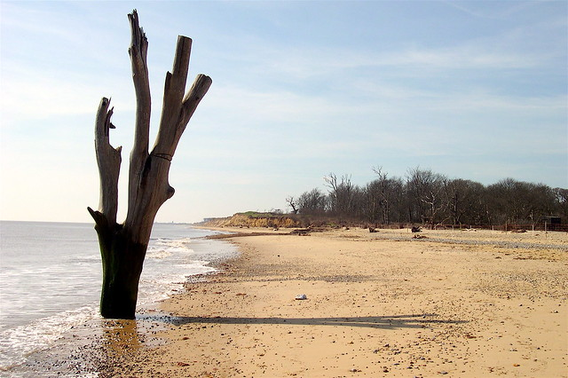 Suffolk coast: dead tree