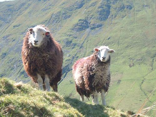 60-sheep-eleven