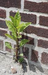 Big Weed - Little Weed