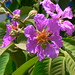 Giant Crape-Myrtle - Photo (c) Dinesh Valke, some rights reserved (CC BY-NC-ND)