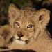 Lion Cub by Lyndon Firman