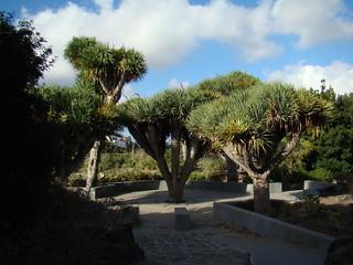 Dragos arboles Jardin Canario Gran Canaria Islas Canarias 053