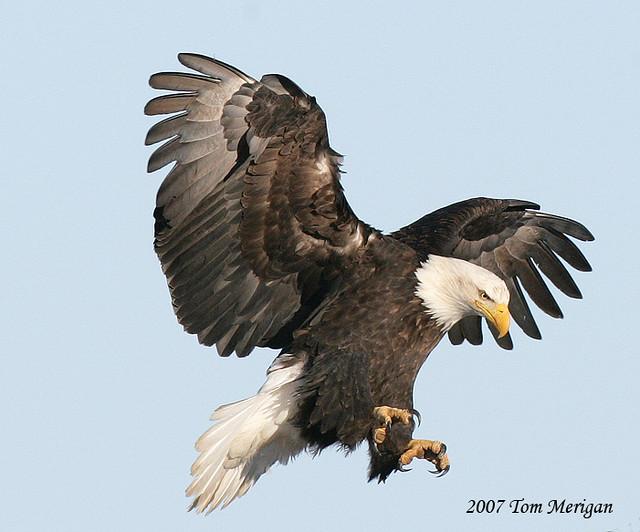 Bald eagle landing flickr photo sharing