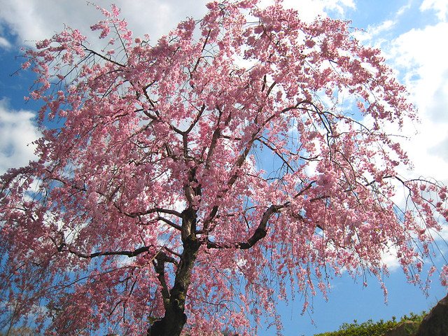 Pink weeping cherry:垂樱