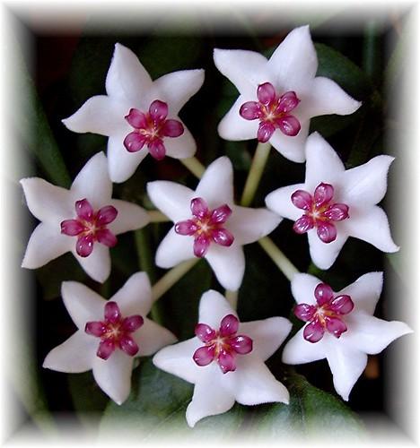 star flower plant