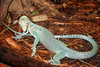 "<a href=""http://www.flickr.com/photos/wallyg/470708580/"">Photo of Varanus prasinus by Wally Gobetz</a>"