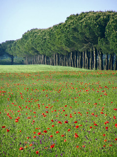 Papaveri / Poppies