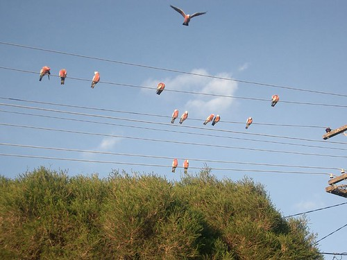 Galahs on the wire