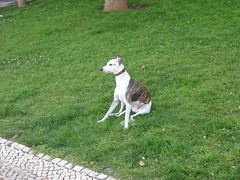 animal, hound, dog, whippet, sighthound, pet, carnivoran,
