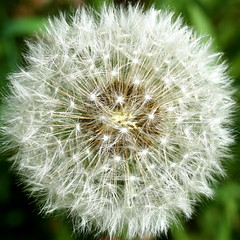 white dandelion squircle