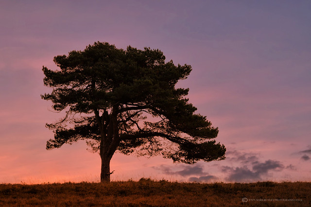 SCOTS PINE - NEW FOREST