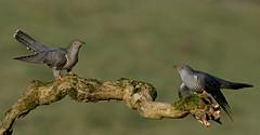 Cuckoo, Cuckoo