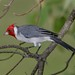Red-crested Cardinal - Photo (c) Lip Kee, some rights reserved (CC BY-SA)