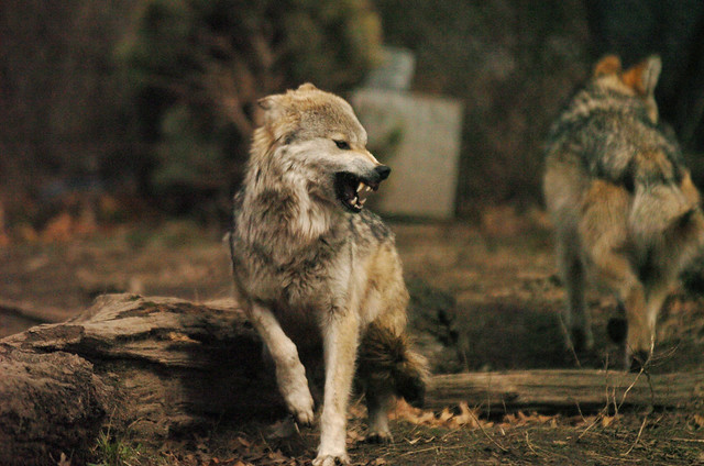 Wolf Growl | Flickr - Photo Sharing!