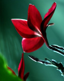 Red Frangipani Flower