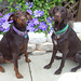 POLISHED PINSCHER PLUS POSING POINTER = PERFECT PUPS by Doggies Are From Heaven