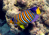 Royal Angelfish on Similan Islands, Thailand