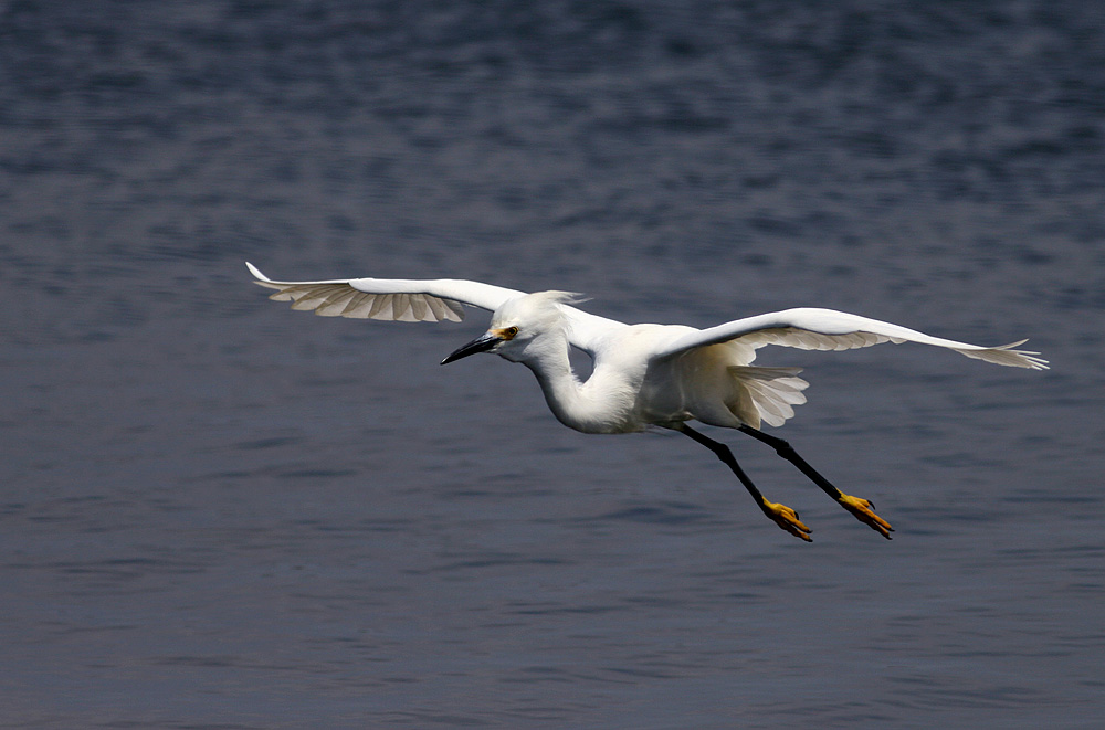 Snowy Egret Landing Sequence Birds In Photography On