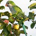 Monk Parakeet - Photo (c) Lip Kee Yap, some rights reserved (CC BY-SA)