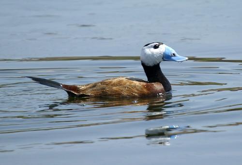 malvasía cabeciblanca 02 - ànec cap-blanc - white-headed duck -  oxyura leucocephala