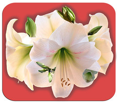Full Amaryllis blossoms with stages of growth