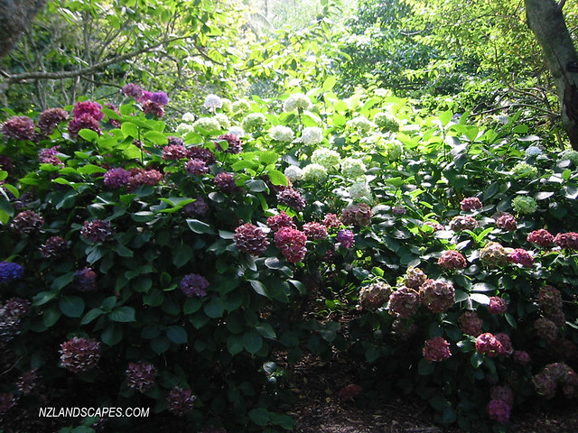 Hydrangea Grouped. Landscaping Plants, Wellington Botanical Gardens ...