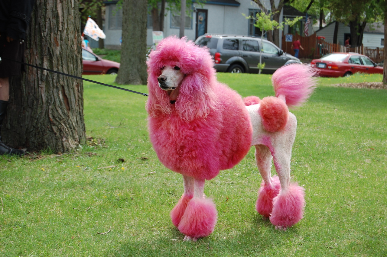 A Very Pink Poodle