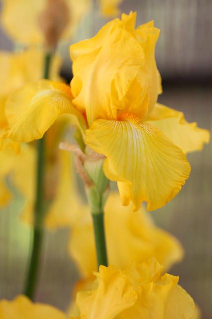 Photo:Iris germania By koizumi