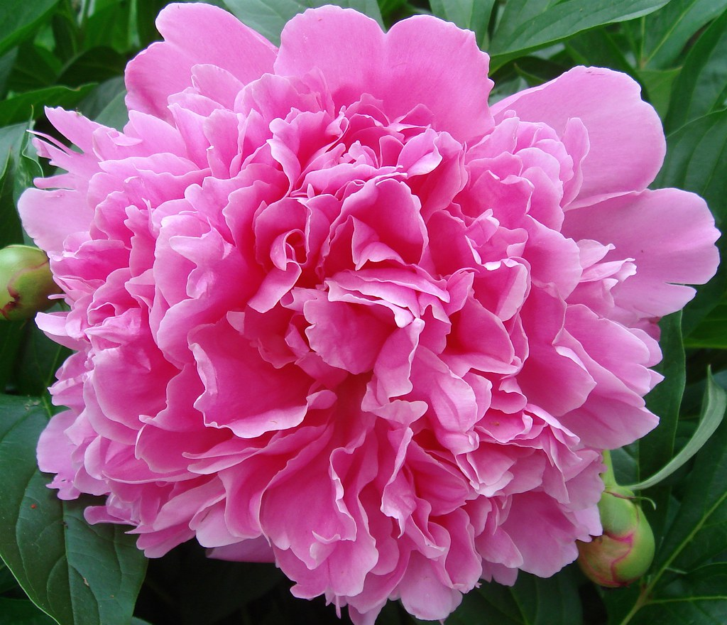 Peony Indiana state flower State Flowers Pinterest