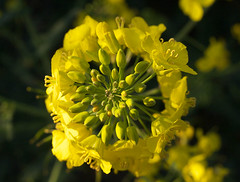 brassica(0.0), blossom(0.0), vegetable(0.0), common rue(0.0), plant(0.0), rue(0.0), produce(0.0), flower(1.0), yellow(1.0), mustard plant(1.0), mustard(1.0), macro photography(1.0), subshrub(1.0), flora(1.0), rapeseed(1.0),