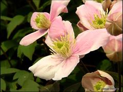 blossom(0.0), peruvian lily(0.0), clematis(1.0), shrub(1.0), flower(1.0), plant(1.0), flora(1.0), petal(1.0),
