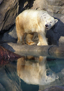 Polar Bear - Reflection