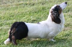 welsh springer spaniel(0.0), drentse patrijshond(0.0), phalã¨ne(0.0), french spaniel(0.0), english springer spaniel(0.0), cavalier king charles spaniel(0.0), dog breed(1.0), animal(1.0), dog(1.0), king charles spaniel(1.0), spaniel(1.0), carnivoran(1.0),