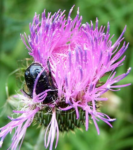 flowers camp plants flower macro nature texas purple native wildlife thistle beetle insects wildflowers beetles