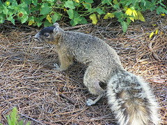 fox squirrel(0.0), marmot(0.0), wild cat(0.0), animal(1.0), squirrel(1.0), mammal(1.0), fauna(1.0), viverridae(1.0), wildlife(1.0),