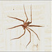 Recluse Spiders - Photo (c) Claudio Quezada, some rights reserved (CC BY-NC-ND)