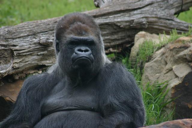 tatu, western lowland gorilla silverback   Flickr - Photo ...