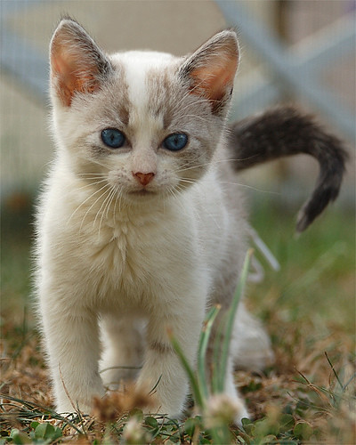 warrior kitten
