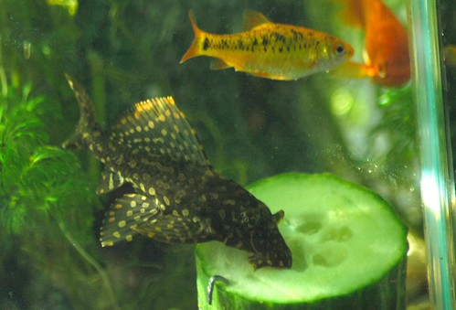 Pleco for List of fish that can live with bettas
