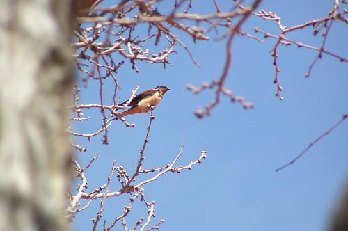 birds swallow barnswallow sonoracaverns