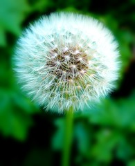 on a still day stands the fearless dandelion