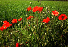 flower, field, grass, red, plant, wildflower, flora, coquelicot, meadow, poppy,