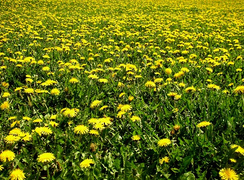 Lots of dandelions