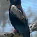 Small photo of Bateleur Eagle (Terathopius ecaudatus)