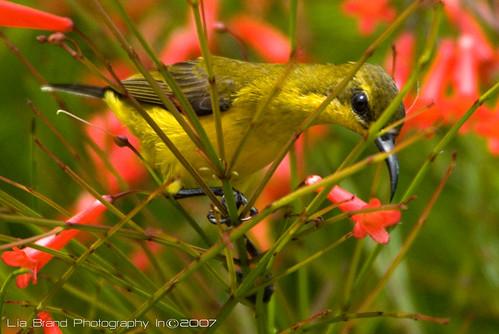 ציפור חצר