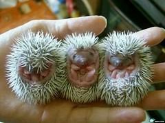 animal, domesticated hedgehog, erinaceidae,